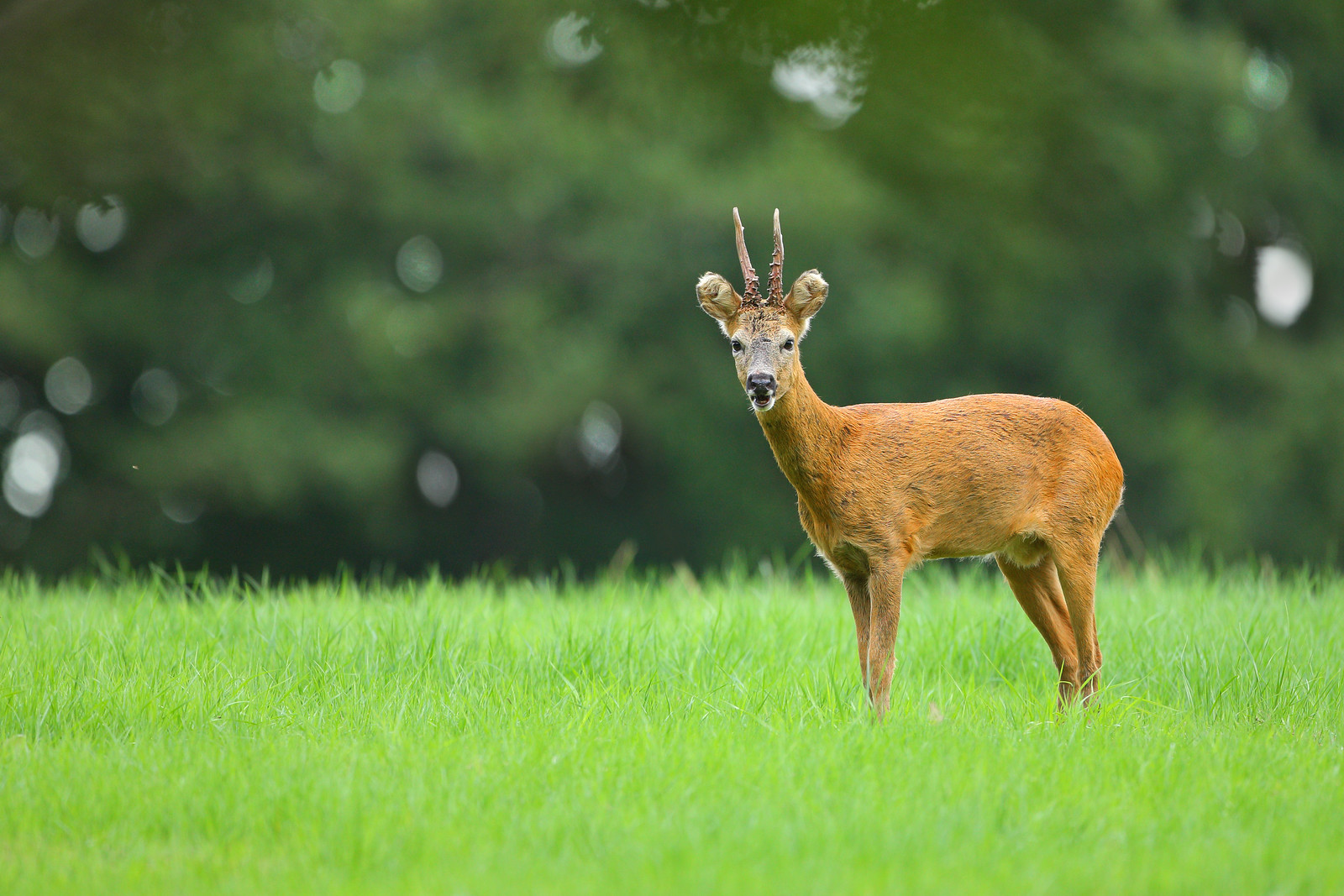 The Yawning Roe Deer
