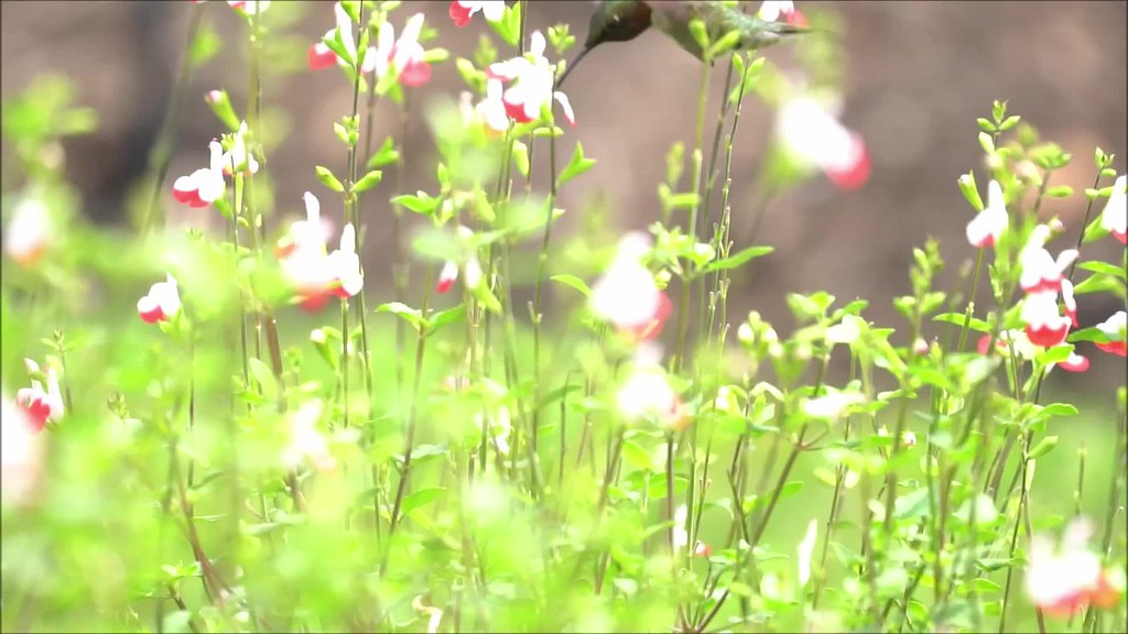 Chicago Hummingbird Slow Motion