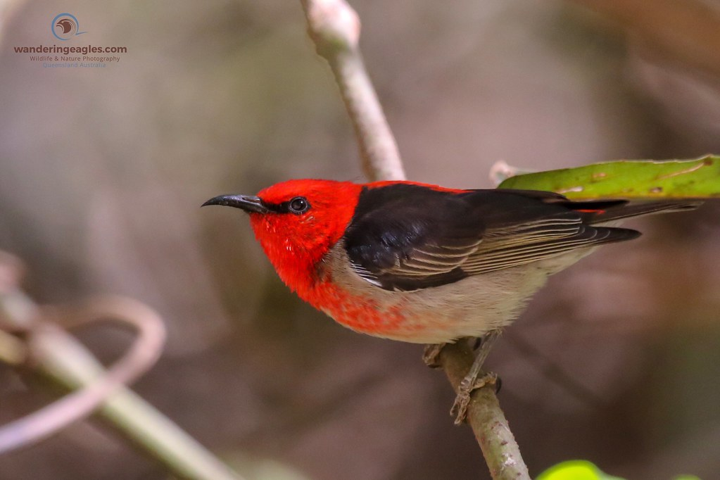 Scarlet Honeyeater (Myzomela) - Up close