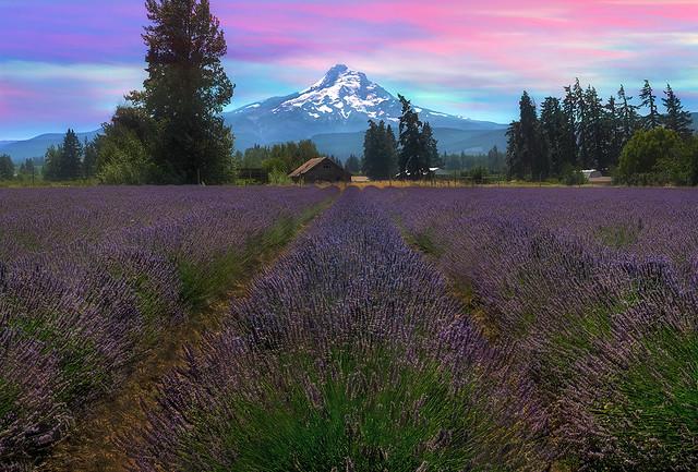 Lavender Field in Hood River Oregon After Sunset