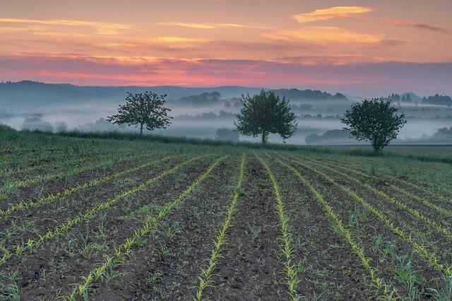 *Morgendämmerung im Maisfeld*