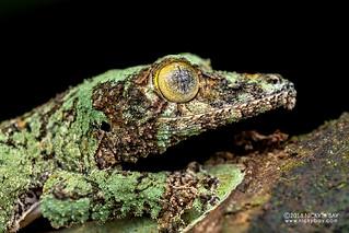 Mossy leaf-tailed gecko (Uroplatus sikorae) - DSC_7560