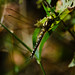 Southern hawker dragonfly, Baggeridge