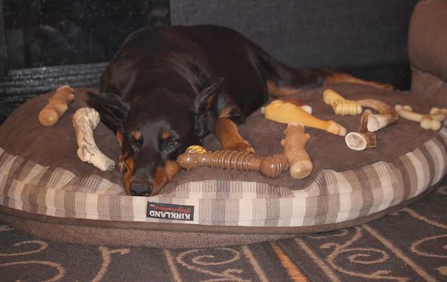 Nylabones Doberman Forum Doberman Breed Dog Forums