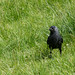 Jackdaw on the Ground