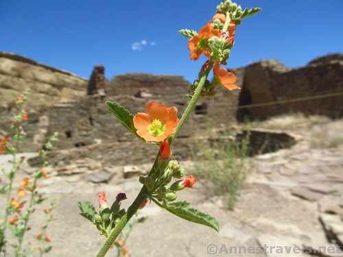 Scarlet globmallow flowers in Pueblo Bonito, Chaco Culture National Historical Park, New Mexico