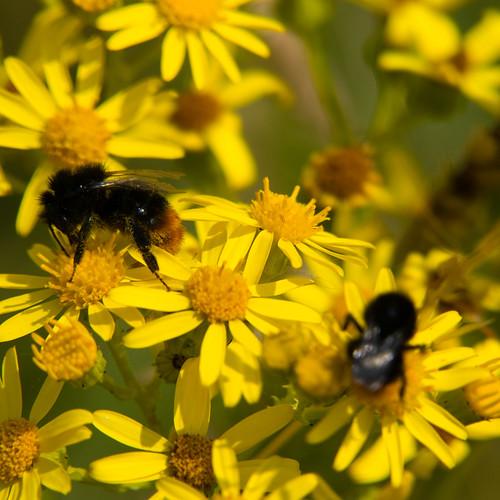 Bumblebees on ragwort flower