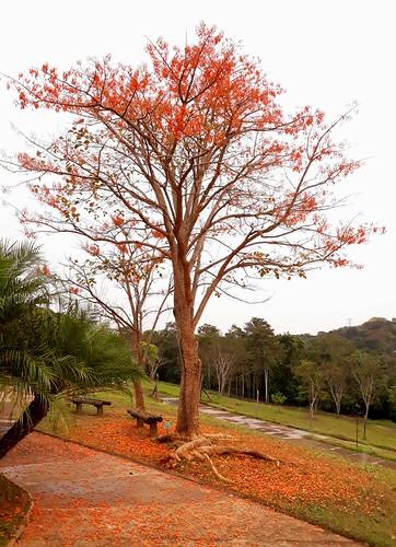 Mulungú - Erythrina mulungu