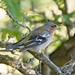 Pinzón vulgar (Fringilla coelebs) / Common chaffinch