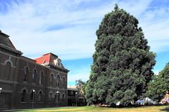 Sir John A. Macdonald Sequoia tree next to go . . .