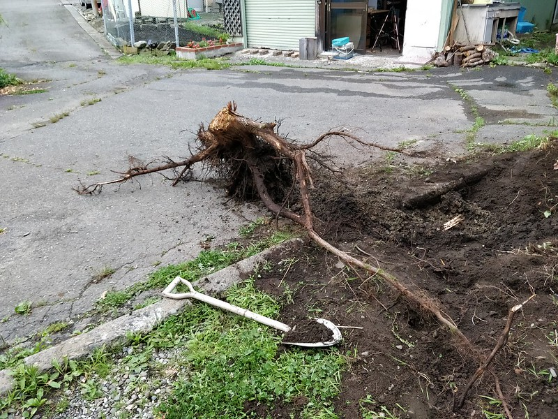 巨木の根を引き抜く (8)