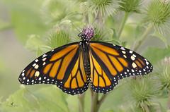 Papillon monarque - femelle / Monarch butterfly - female