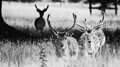 Line of Bucks