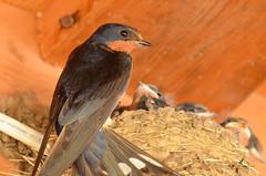 Hirondelle rustique / Barn Swallow
