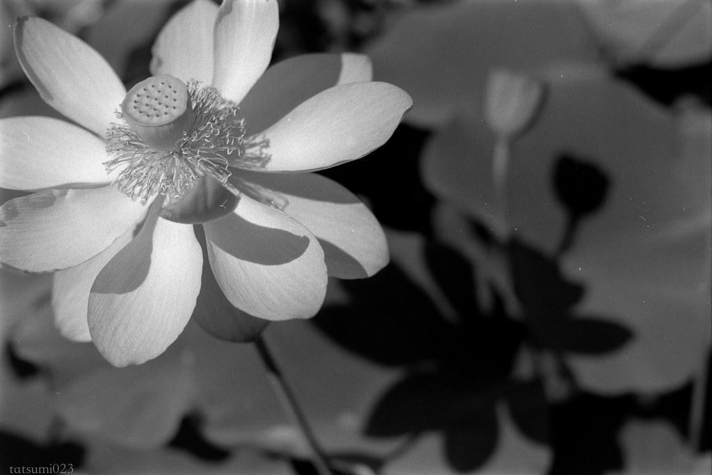 2018-08-06 ハスの花 001