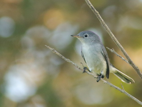 Blue-gray Gnatcatcher 03-20180812