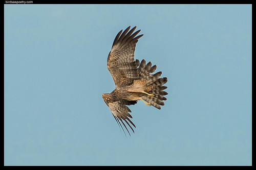 Spotted Harrier: Tail Flare
