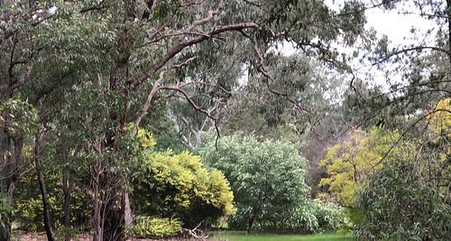 Pickering Brook - Bush is blooming