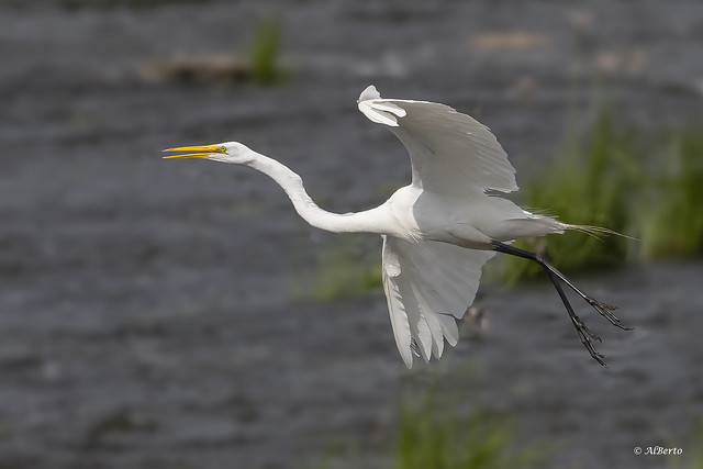 Great Egret / Grande Aigrette