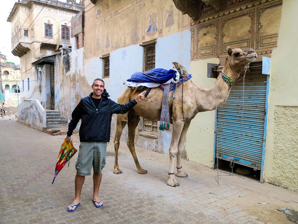 Camellos en el norte de India