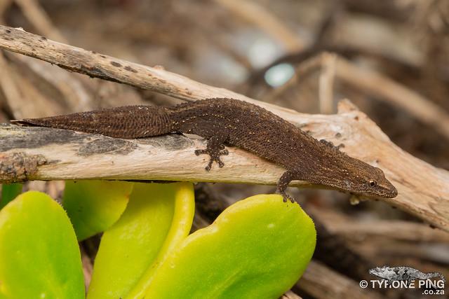 Cryptactites peringueyi - Salt Marsh Gecko