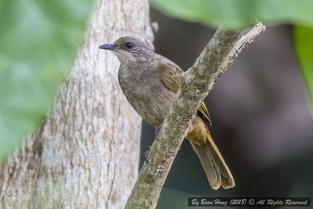 Olive Winged Bulbul Bird Photo Call And Song Pycnonotus Plumosus P Ycnonotus Plumosus