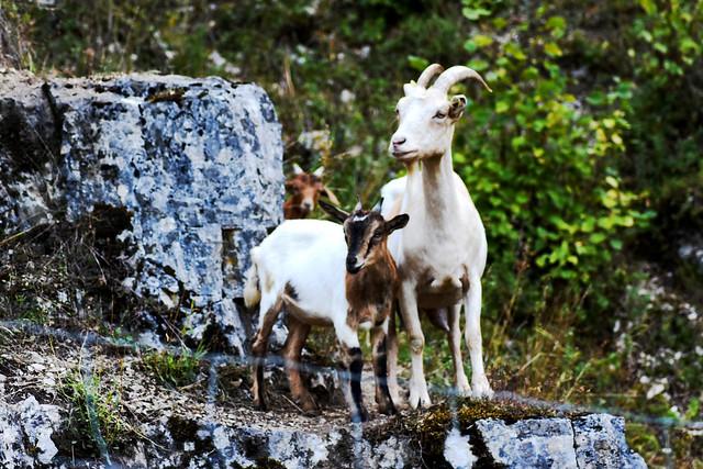 Goats, Nikon D3400, Sigma 50-150mm F2.8 EX APO DC HSM II + 1.4x