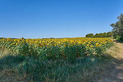 Field of sunflowers - Photo of Baron