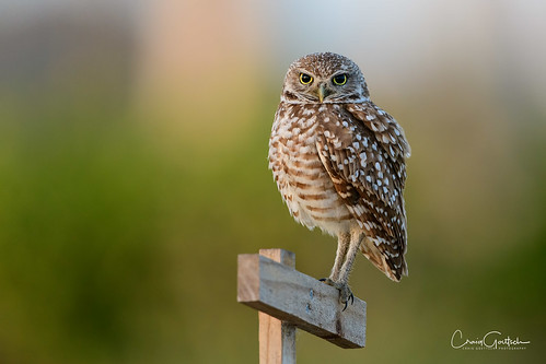 burrowingowls capecoral owl bird avian nature wildlife florida nikon d850 bokeh eyes