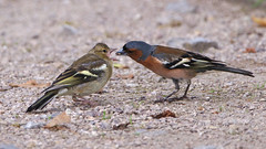 Chaffinch feeding the little one