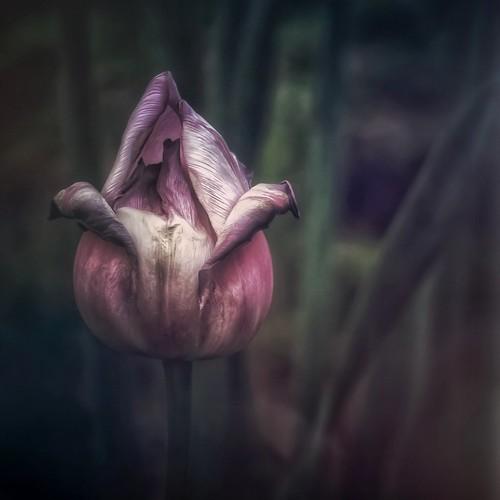 Tulip v.2 in Color