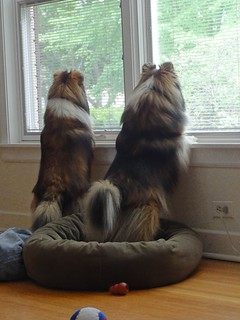 Monty and Abby Being Vigilant, 2011
