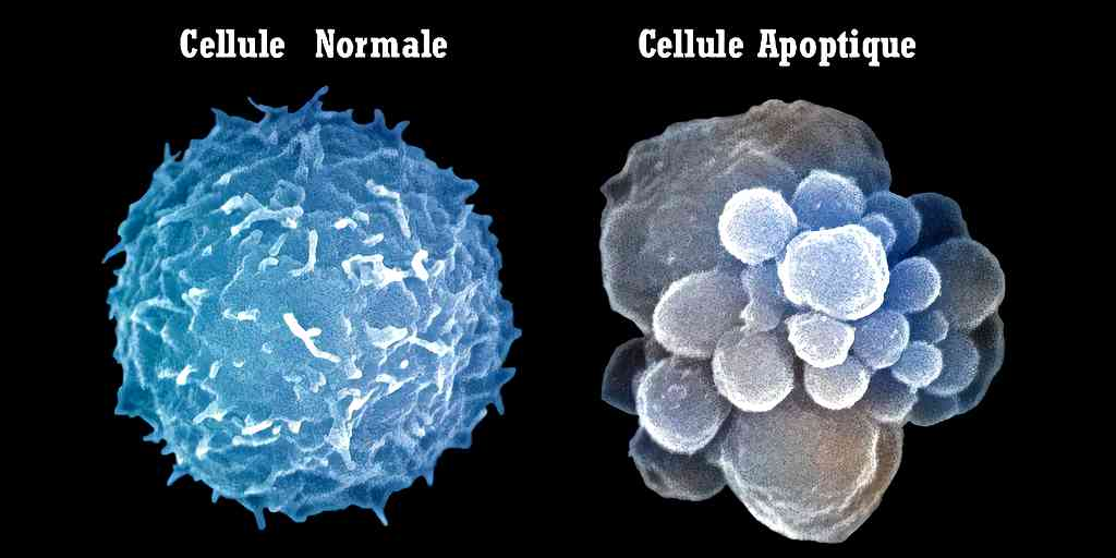 comprendre-processus-cellule-apoptose