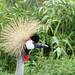 African Grey Crowned Crane