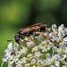 Sawfly sp. - Tenthredo amoena