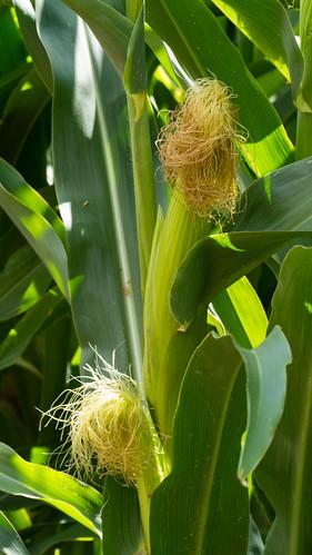 Maize, cob and female flower