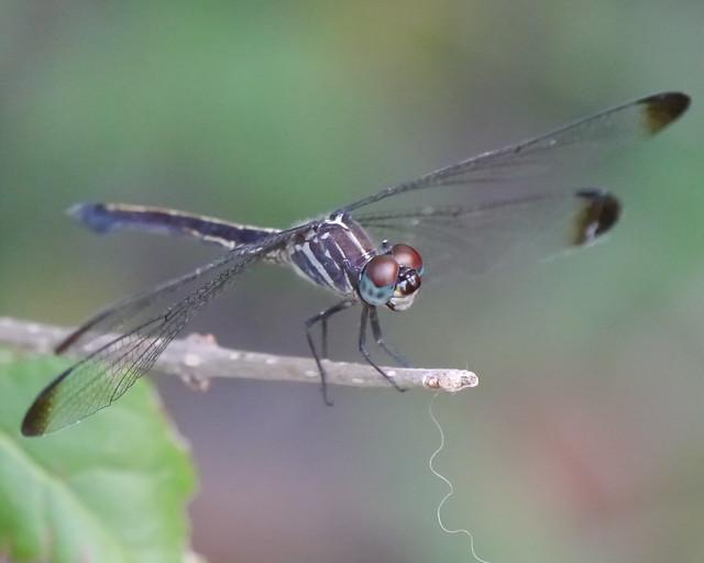 Gray-waisted Skimmer Female