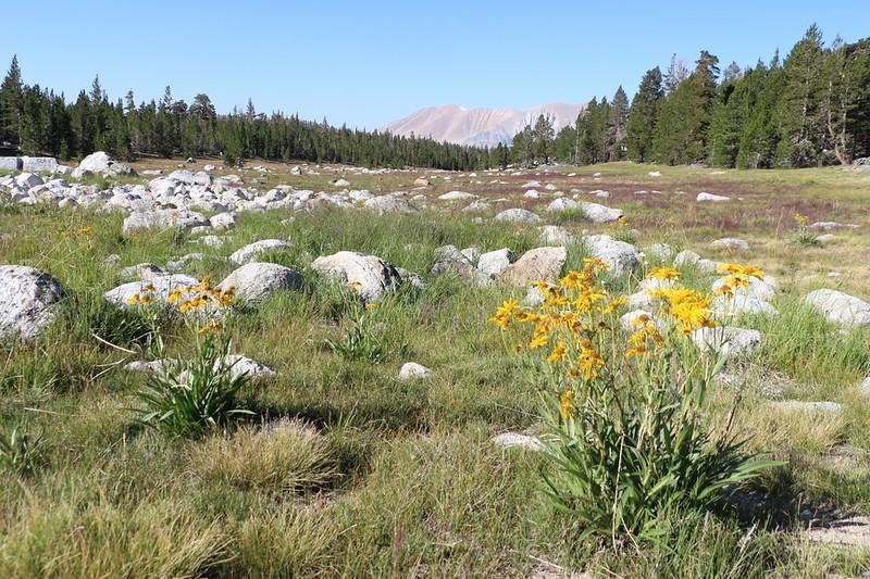 Daisy flowers in a rocky meadow on the John Muir Trail near Wright Creek