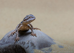 Bearded Dragon on Rock