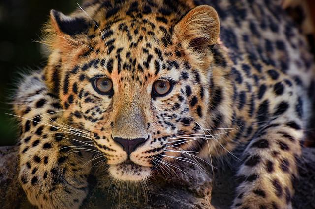 Leopard, Nikon D7200, AF-S VR Zoom-Nikkor 70-300mm f/4.5-5.6G IF-ED