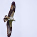 Osprey with Fish by thatSandygirl