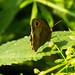 Meadow brown butterfly resting on nettle leaf