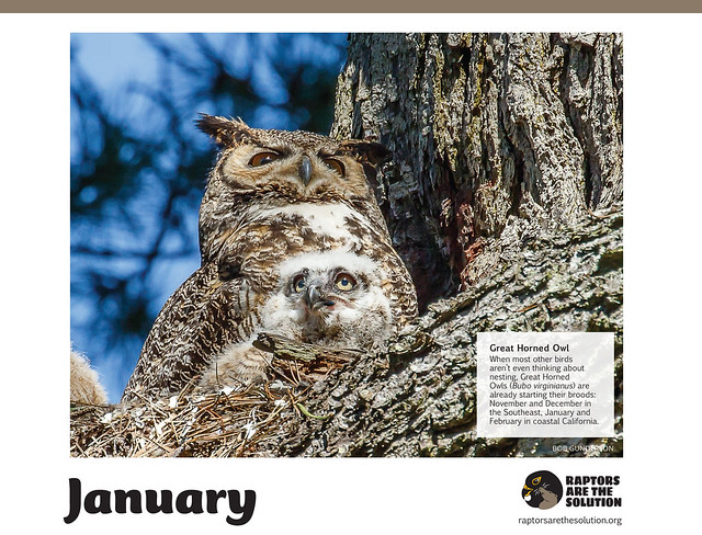 Great Horned Owls in the RATS (Raptors Are The Solution) calendar