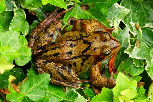 DSC06235 - Common Frog
