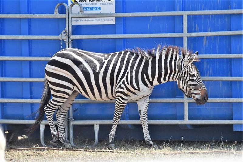 Zebra 07.08 (4)