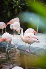 Flamingos at Sunken Gardens
