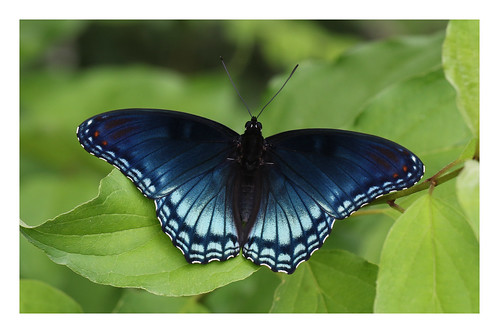 america invertebrates limenitisarthemisastyanax redspottedpurple texas butterfly blue leaf woodland canon canon7dii canon100mmf28