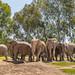 Happy Elephant Herd
