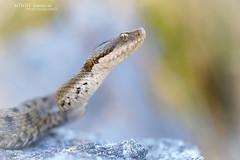 Asp viper, Vipera aspis zinnikeri