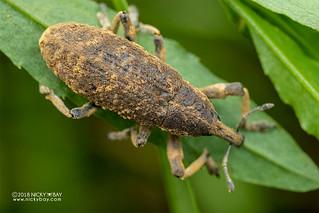 Weevil (Curculionidae) - DSC_7137